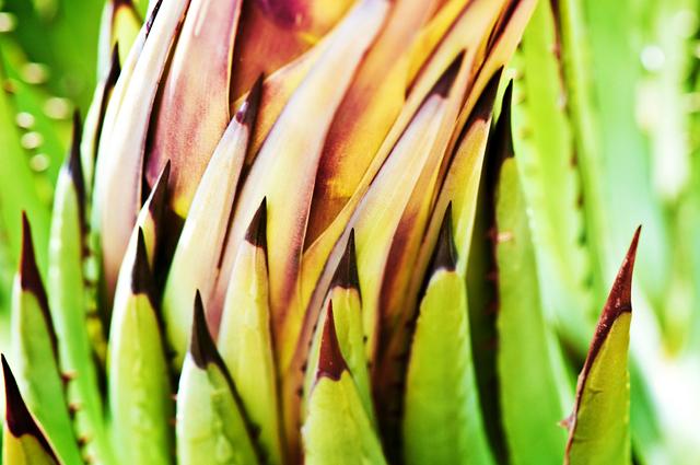 Agave Plant, Macro; Arizona