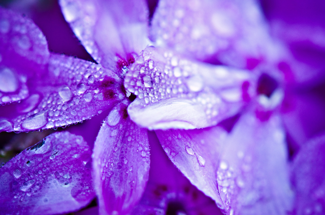 Rain Droplets, Flower Petals