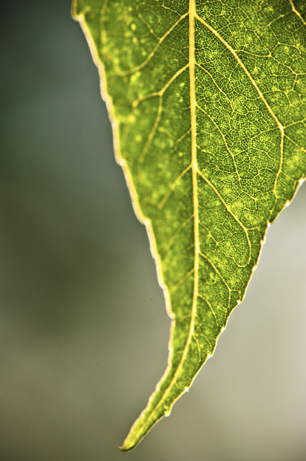 Venation; Tree Leaf Macro, Durham, NH