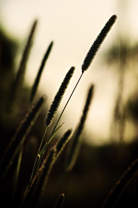 Tall Grass Stalks; Durham, NH