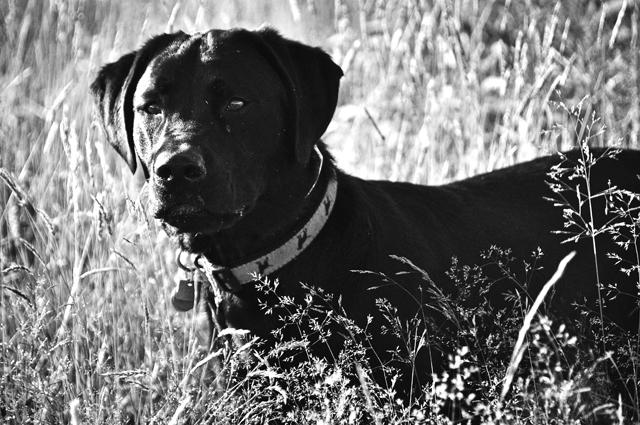 Fields of Gold, Black Lab