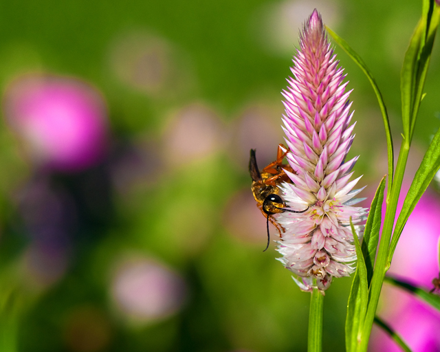 In Search Of Nectar; Bee Landing on Flower