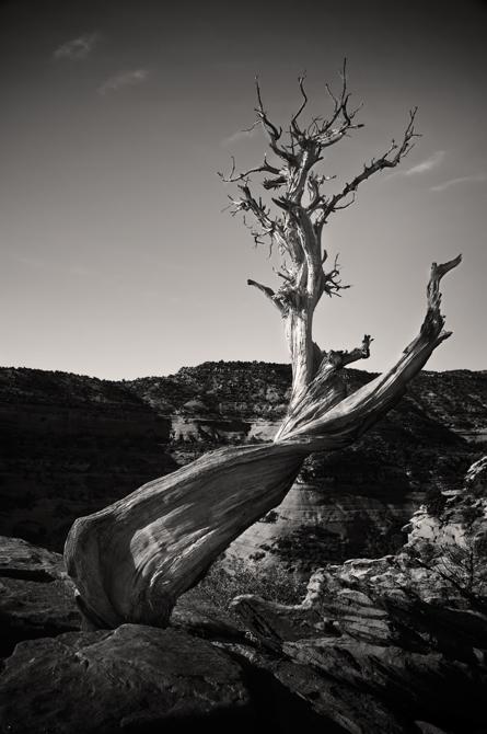 Bristlecone Pine; Grand Canyon, Arizona