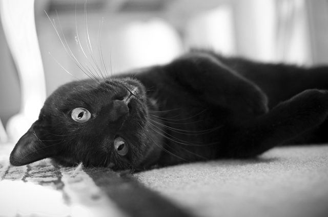 Playful Black Cat