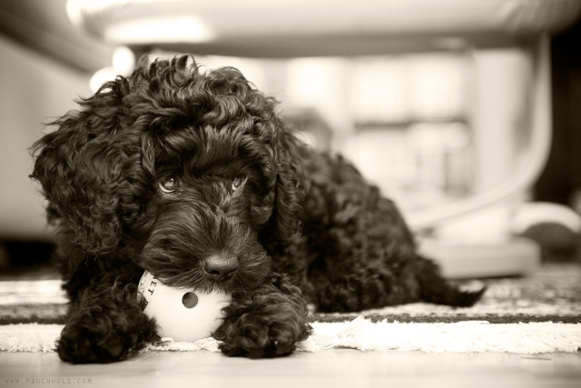 Beamer, Portuguese Water Dog Puppy