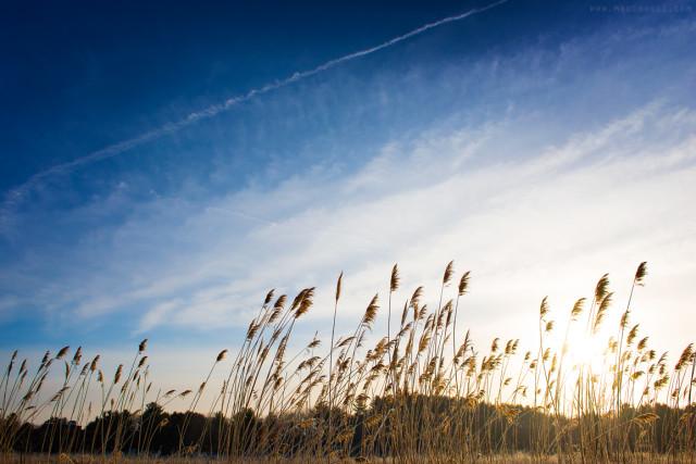 Reeds at Sunrise