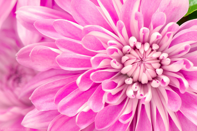 Pink Chrysanthemum, Macrophotography