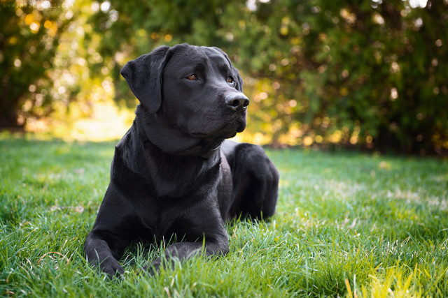Poised, Black Lab
