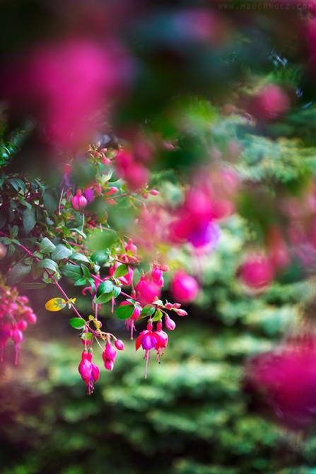 Fuschia Perennial Plant