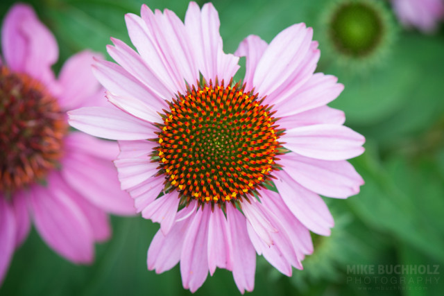Signs of Aging, Echinacea