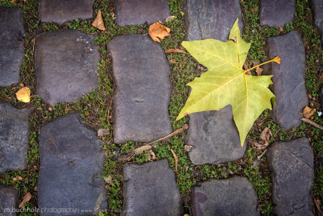 Cobblestone Foliage; Prague, Czech Republic