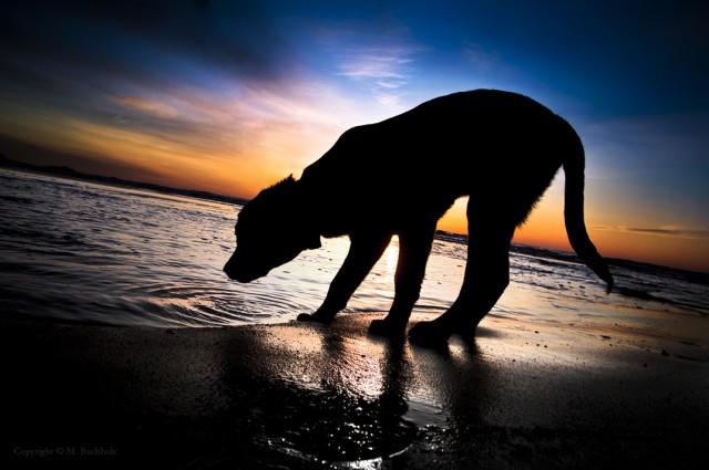 Black Lab Puppy Drinking Salt Water At Sunrise