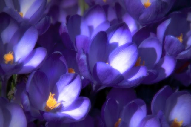 Fields of Purple; A Flower Garden