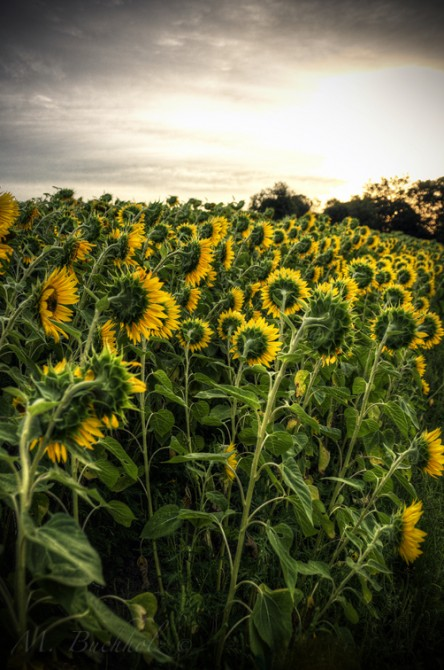 Sunflower Field; Massachusetts
