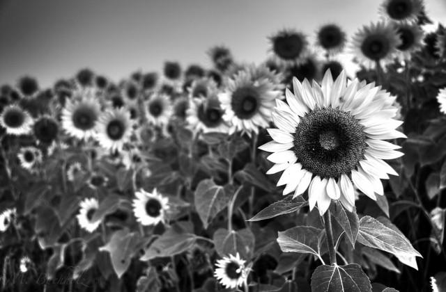 Rising Sunflower; New England