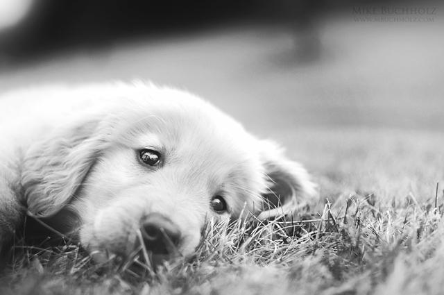 Resting; Golden Retriever Puppy